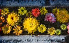 Picture flowers, chrysanthemum, clove