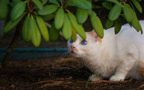 Picture cat, white, cat, look, leaves, branches, pose, white, blue eyes, looking up