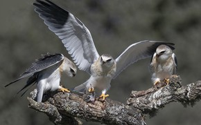 Picture birds, nature, Black-winged kite, Elanus caeruleus