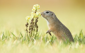 Picture grass, flowers, background, gopher, stand, snapdragons