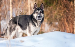 Picture winter, dog, shepherd, winter forest, вео