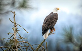 Picture branches, bird, eagle, pine, blue background, bald eagle
