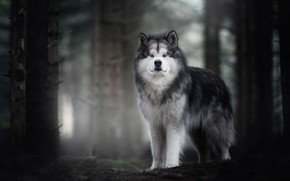 Picture autumn, forest, look, face, trees, nature, fog, background, trunks, dog, wool, grey, handsome, dog, Malamute, …