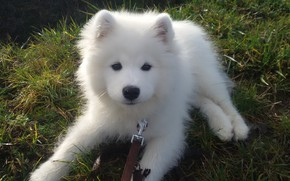 Picture white, dog, puppy, the Samoyed