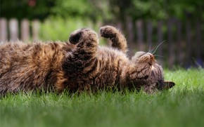 Picture cat, grass, cat, look, face, grey, glade, the fence, paws, sleeping, lies, striped, thick, closed …