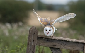 Picture look, pose, owl, bird, Board, the fence, the barn owl, flap