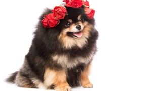 Picture look, roses, fluffy, cute, wreath, Spitz