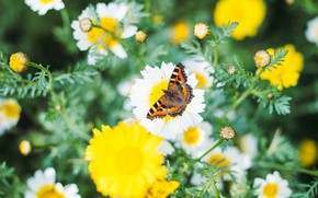 Picture summer, macro, flowers, nature, butterfly, chamomile, meadow, insect, bokeh