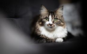 Picture cat, cat, look, light, the dark background, sofa, portrait, blur, muzzle, lies, green eyes, grey …