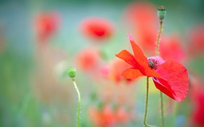 Picture summer, flowers, Mac, Maki, blur, red, green background, bokeh