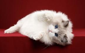 Picture cat, legs, white, blue eyes, British