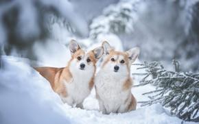 Picture winter, dogs, snow, a couple, Welsh Corgi, Ирина Мороз