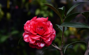 Picture flower, leaves, the dark background, branch, red, Camellia