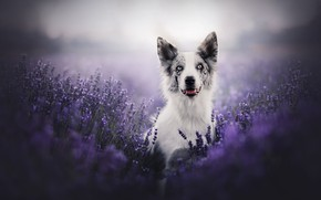 Picture look, face, flowers, dog, lavender, bokeh, The border collie