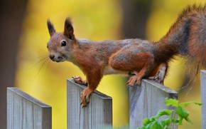 Picture animal, the fence, protein, animal, rodent