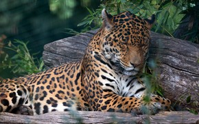 Picture face, leaves, branches, pose, stay, sleep, paws, sleeping, lies, Jaguar, log, closed eyes