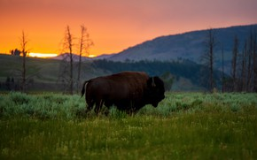 Picture field, forest, grass, sunset, mountains, bull, Buffalo
