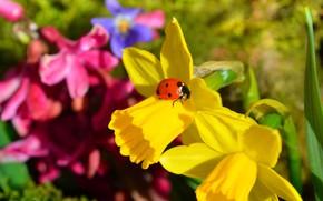Picture ladybug, Macro, Macro, Daffodils, Narcissus