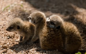 Picture light, pose, meerkats, kids, cubs, brood