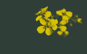 Picture flowers, the dark background, blurred background