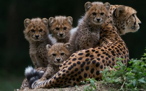 Picture grass, look, pose, the dark background, kittens, Cheetah, lies, kids, wild cats, mom, sitting, four, …