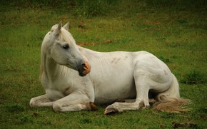 Picture horse, meadow, white