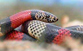Picture look, background, snake, striped, red-black