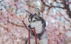 Picture face, dog, blur, leash, Husky