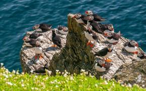 Picture sea, flowers, birds, rocks, coast, stalled, a lot, bokeh, a flock of birds, Atlantic puffin, …