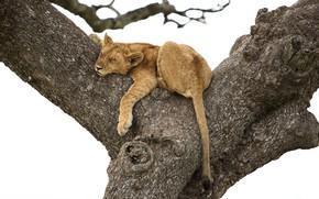 Wallpaper tree, stay, lion