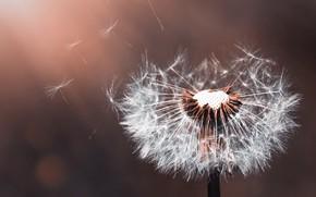 Picture white, flower, the sun, macro, background, dandelion, fuzzes, bokeh