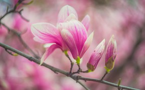 Picture macro, flowers, branches, blur, spring, pink, buds, flowering, bokeh, Magnolia