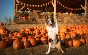 Picture autumn, look, light, pose, paw, dog, harvest, pumpkin, flags, the border collie, fair