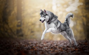 Picture autumn, forest, look, face, leaves, light, trees, nature, pose, Park, jump, portrait, dog, paws, running, …