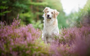 Picture forest, summer, look, face, flowers, nature, portrait, dog, blur, white, pink, bokeh, Heather