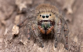 Picture eyes, look, macro, background, tree, legs, spider, bark, brown, jumper, jumping spider, the Hoppy