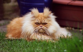 Picture cat, grass, cat, look, face, nature, pose, stay, portrait, fluffy, garden, red, pers, hairstyle, yard, …