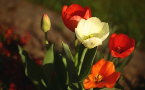 Picture light, flowers, spring, tulips, red, white, flowerbed, bokeh