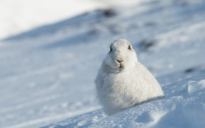 Picture winter, look, face, snow, hare, portrait, slope, the snow, sitting, Bunny