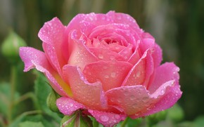 Picture drops, pink, rose