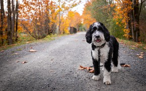 Picture road, autumn, leaves, dog
