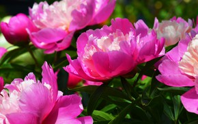 Picture leaves, flowers, Bush, petals, garden, pink, peonies, lush
