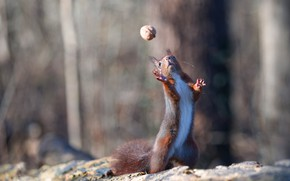 Picture nature, pose, the game, walnut, protein, stand, rodent, nut-ball