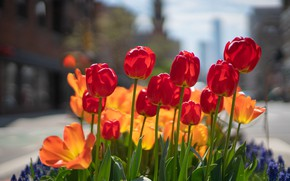 Picture flowers, the city, street, spring, tulips, red, orange, buds, flowerbed, bokeh