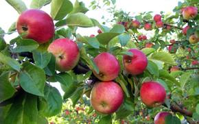 Picture Garden, Branch, Apples