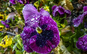 Picture flower, drops, Pansy