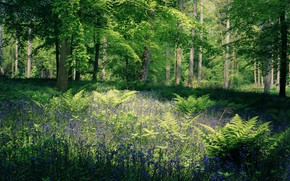 Picture greens, forest, summer, leaves, light, flowers, branches, Park, thickets, glade, foliage, England, spring, fern