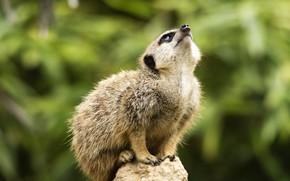 Picture look, pose, background, stone, sitting, bokeh, looking up, meerkat