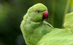 Picture bird, parrot, Indian ringed parrot, Alexandrine parrot