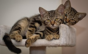 Picture look, cats, pose, kitty, background, pair, kittens, kitty, kids, grey, a couple, Duo, two, lie, …